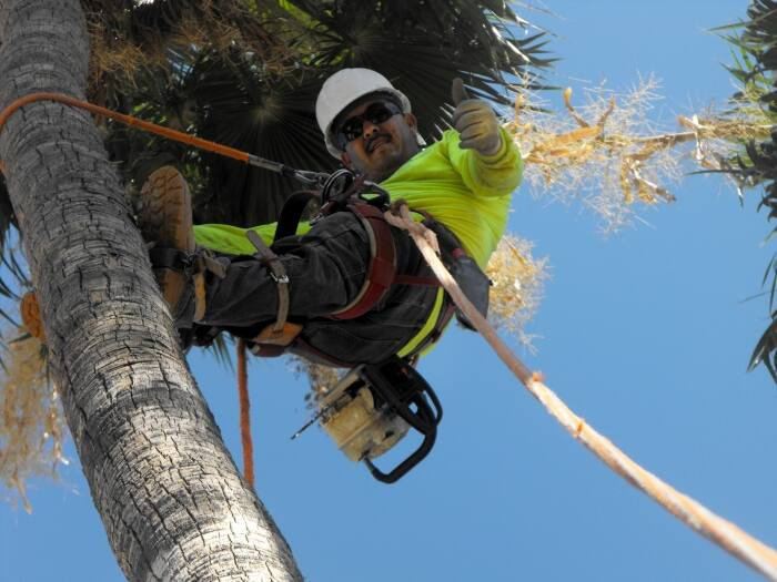 tree crew member strapped in palm tree